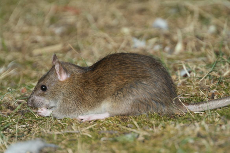 1 Rattus norvergicus