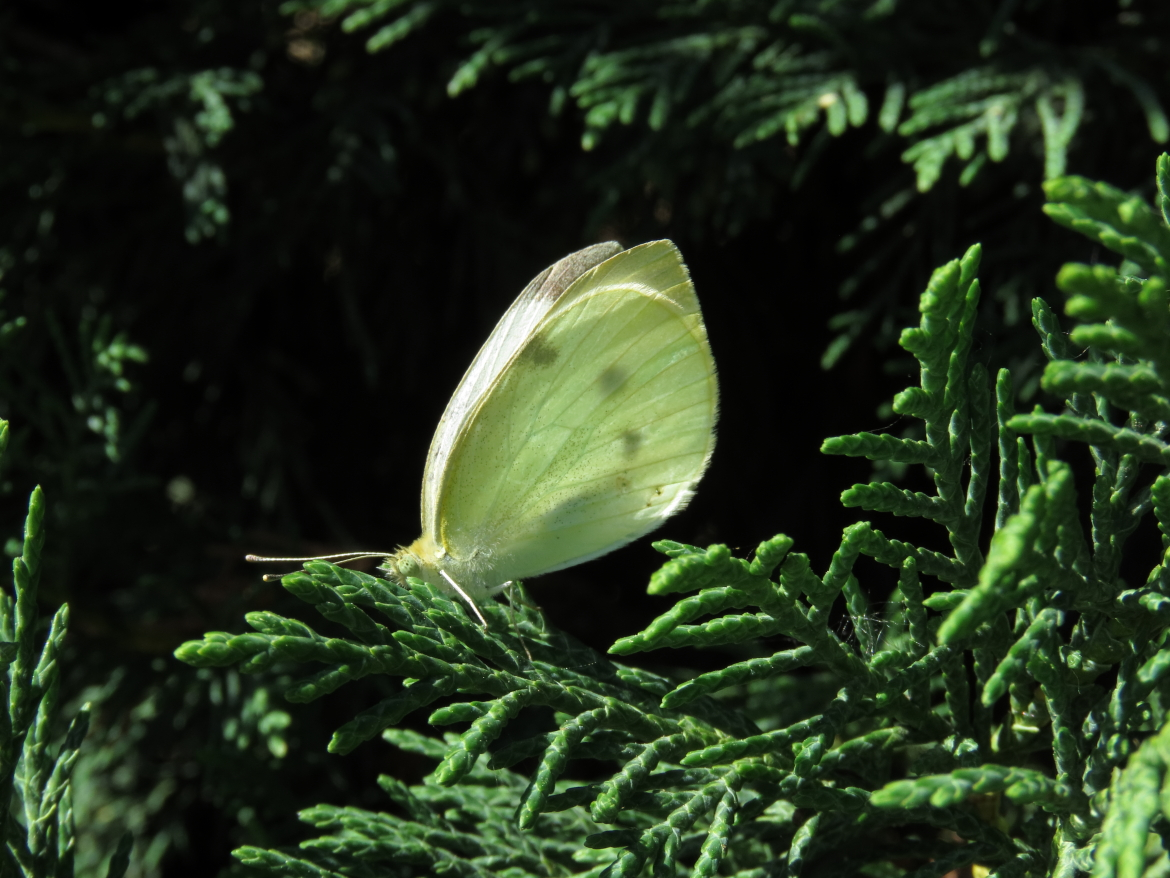 1pieris rapae