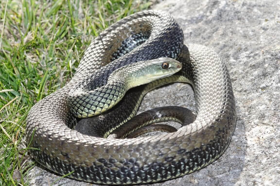 bastarda reptiles