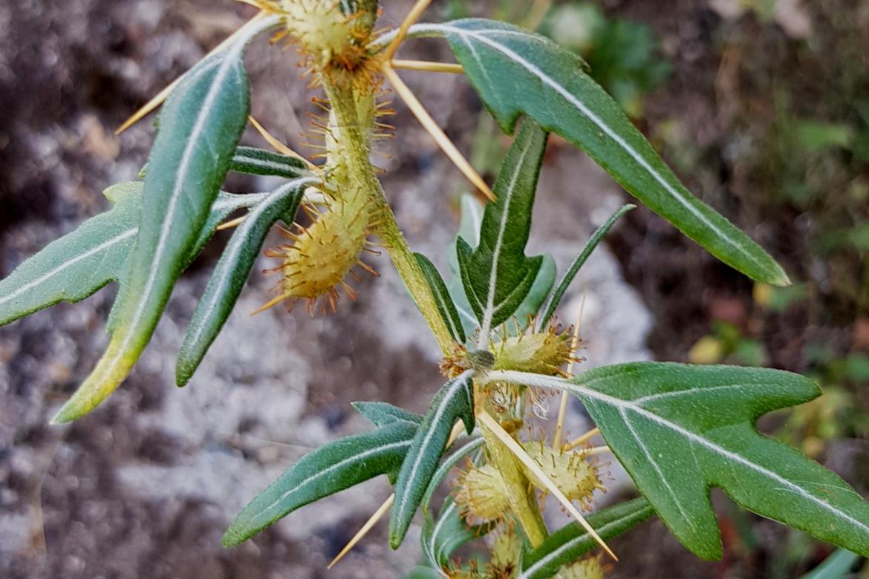 Acantoxanthium spinosumredhorizo