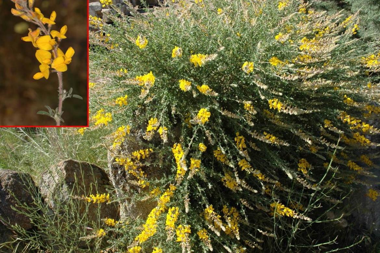 Adenocarpus aureusred