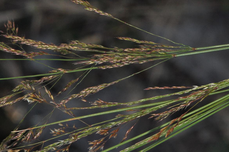 Agrostis castellana-REDAV-Gredos-garganta del Pinar-10-julio-2014 (7) (1)