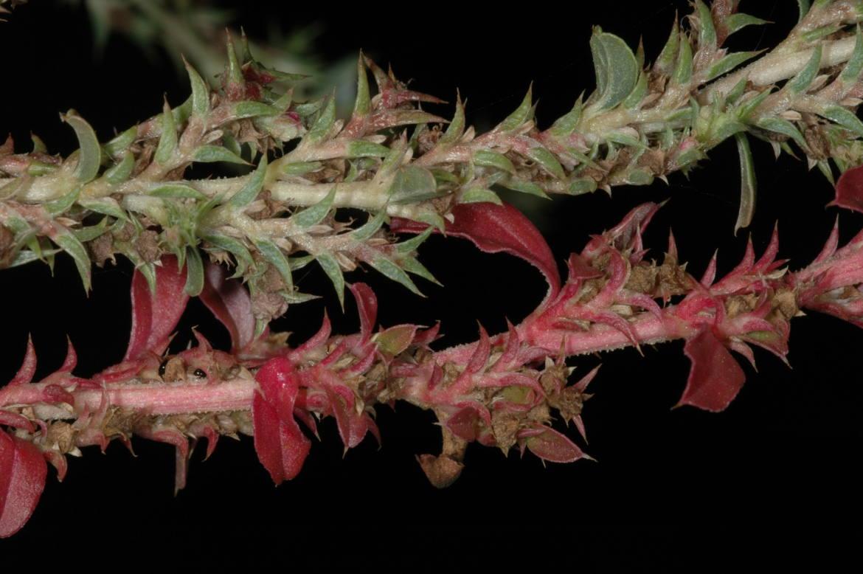 Amaranthus albusred