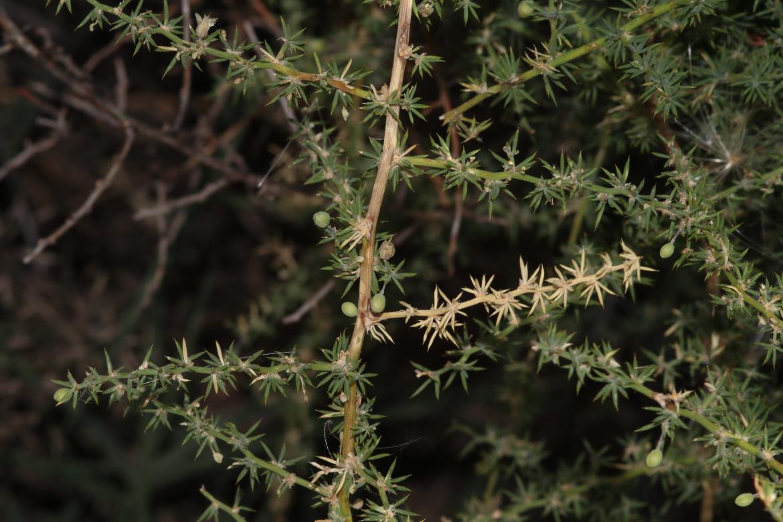 Asparagus_acutifoliusred_El_Oso_Avila-0007