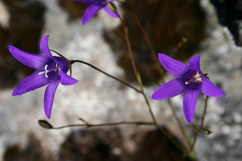 Campanula matritensis-REDAV-Hoyocasero-16-mayo-2006