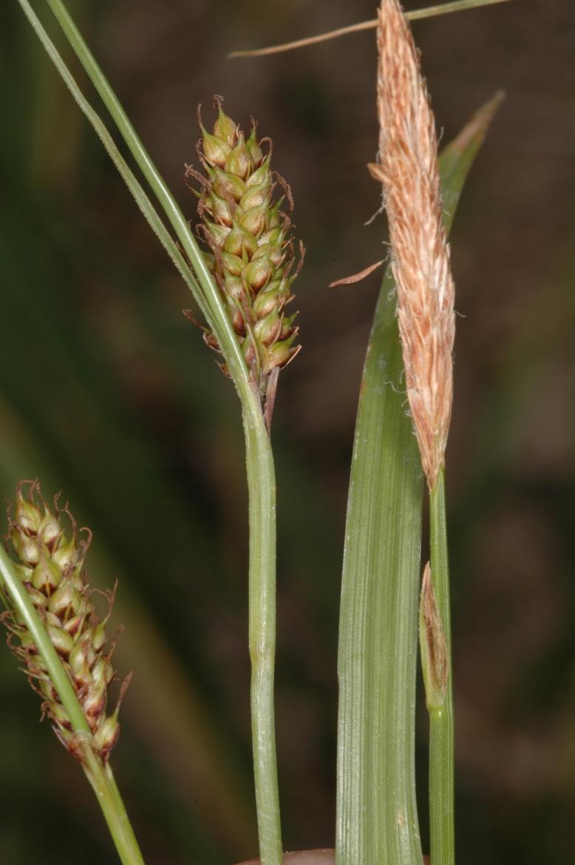 Carex distansRED