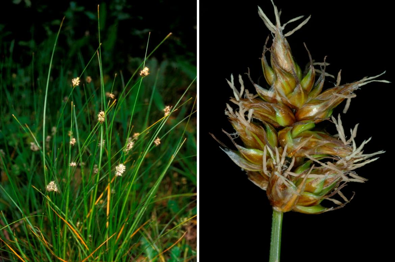 Carex divisa111RED