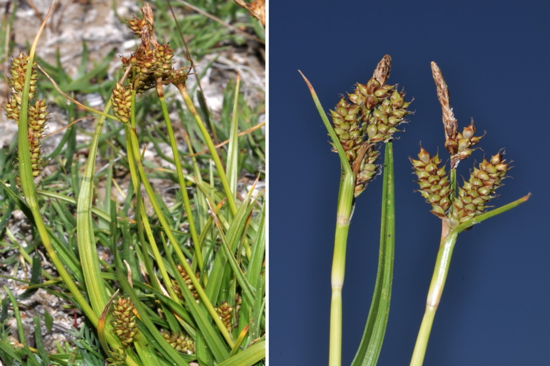 Carex lainziiREDJPG