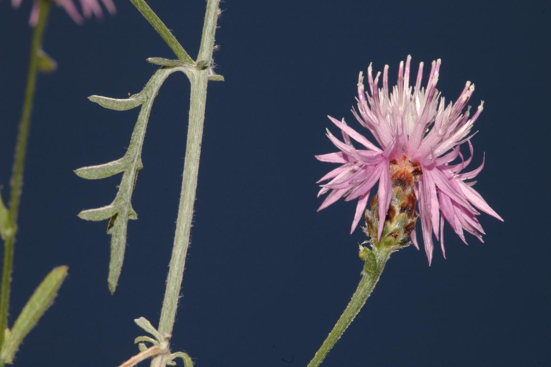 Centaurea alba subsp. alba. RED