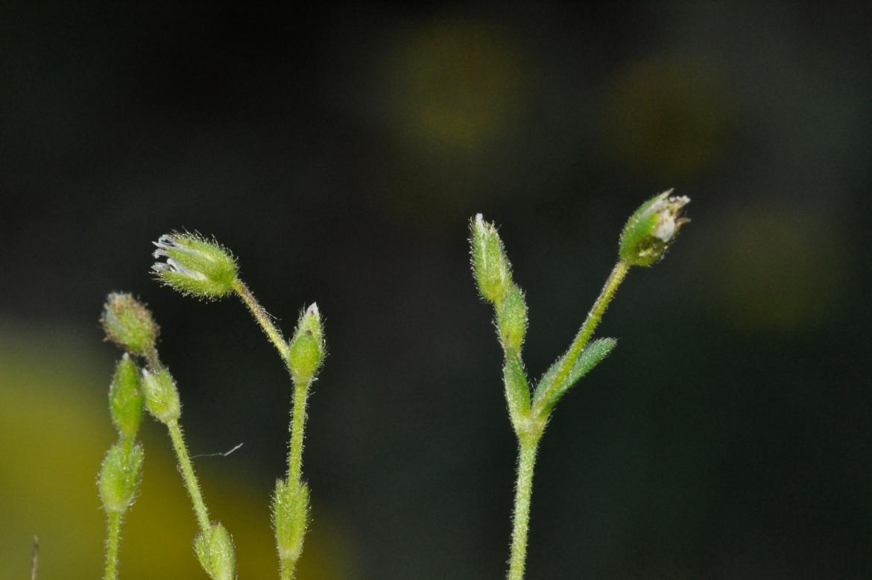 Cerastium diffusum-REDAV-garganta de Navamediana-13-mayo-2014