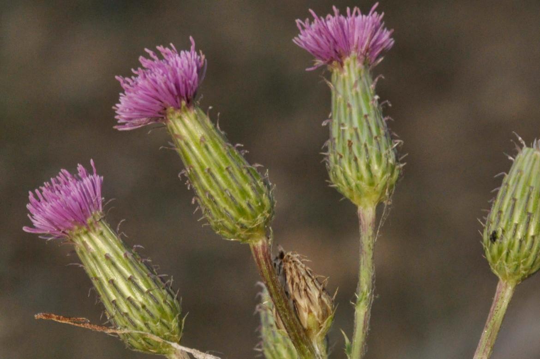 Cirsium pyrenaicumRED-AV-Villanueva de Gómez-12-julio-2019 (2)