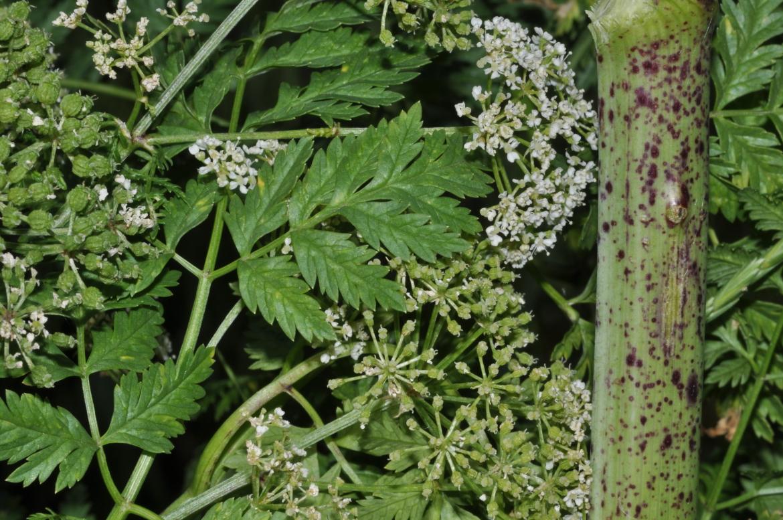 Conium maculatumred1170dolid-Encinas de Esgueva, Prado de las Pozas-19-junio-2009-7