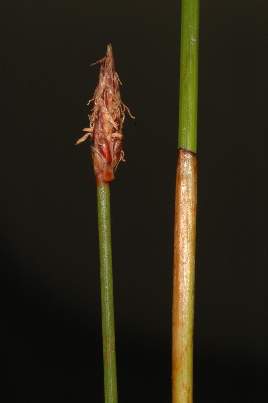 Eleocharis palustrisRED subsp. vulgaris