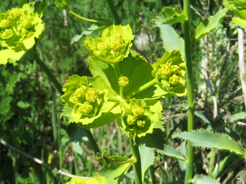 Euphorbia_serrata_el osoREDRICO_16-04-25_5