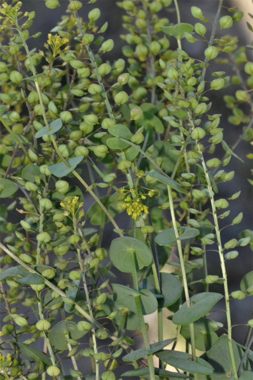 Lepidium perfoliatum-REDAV-El Oso-11-mayo-2019 (2)
