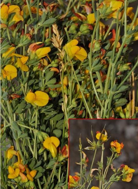 Lotus corniculatus subsp. corniculatusRED