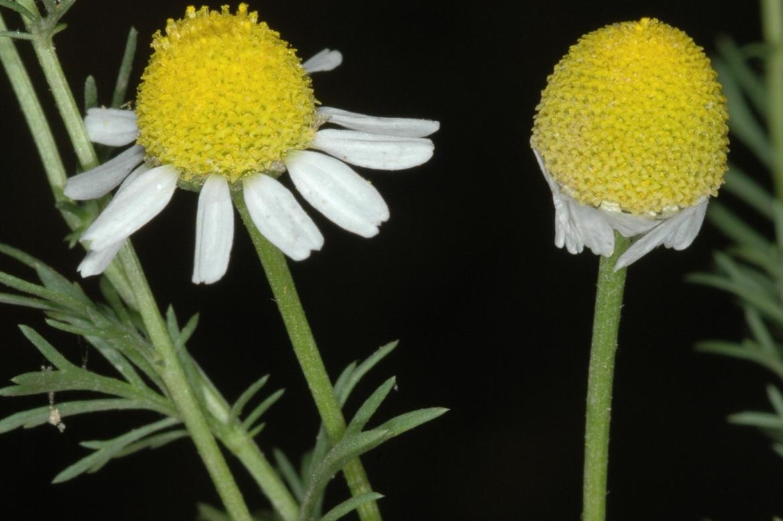 Matricaria chamomillaRED-Creta-Langos-1-mayo-2005 (5)