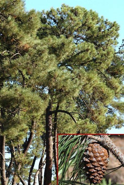 Pinus pinasteREDr