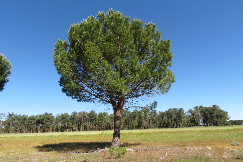 Pinus_pinea_REDel_oso_Avila-0007