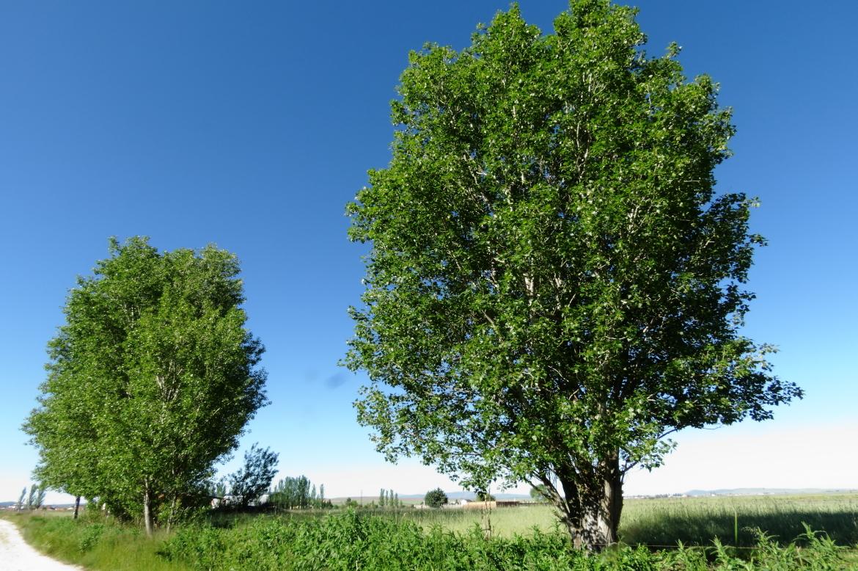 Populus-nigra_REDRICOel_oso_Avila-0003