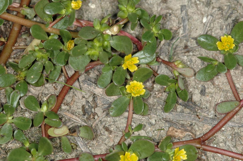 Portulaca oleracea subsp. stellataRED