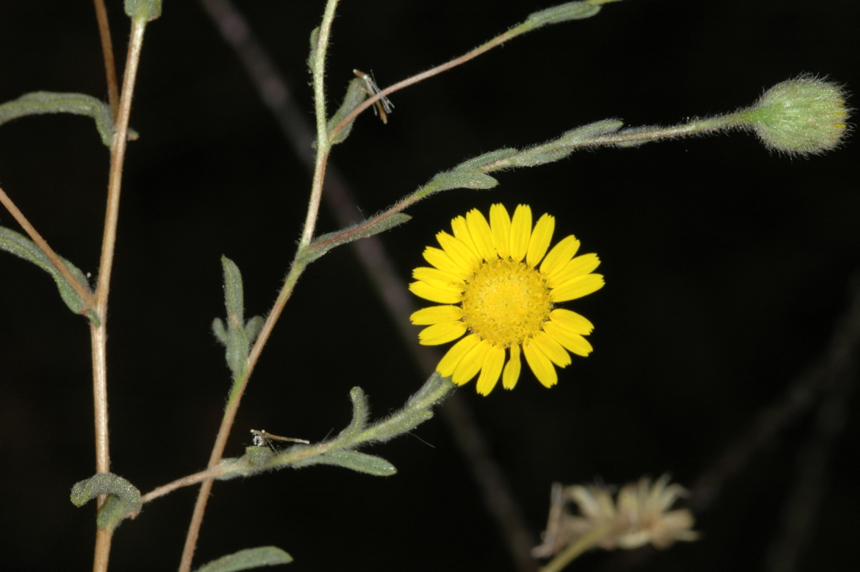 Pulicaria arabicaRED