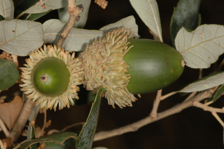 Quercus suber-REDToledo-entre Oropesa y Candeleda-octubre-2006-1