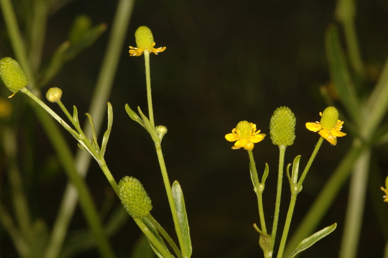 Ranunculus scleratus-REDGran Bretaña-Escocia-Dunbar-junio-2007-1