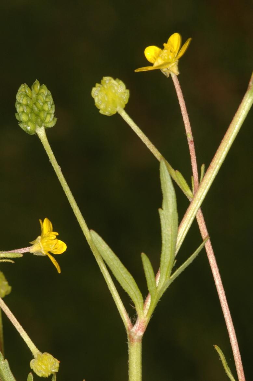 Ranunculus trilobusREDHuelva-Doñana-La Rocina-27-abril-2007-1