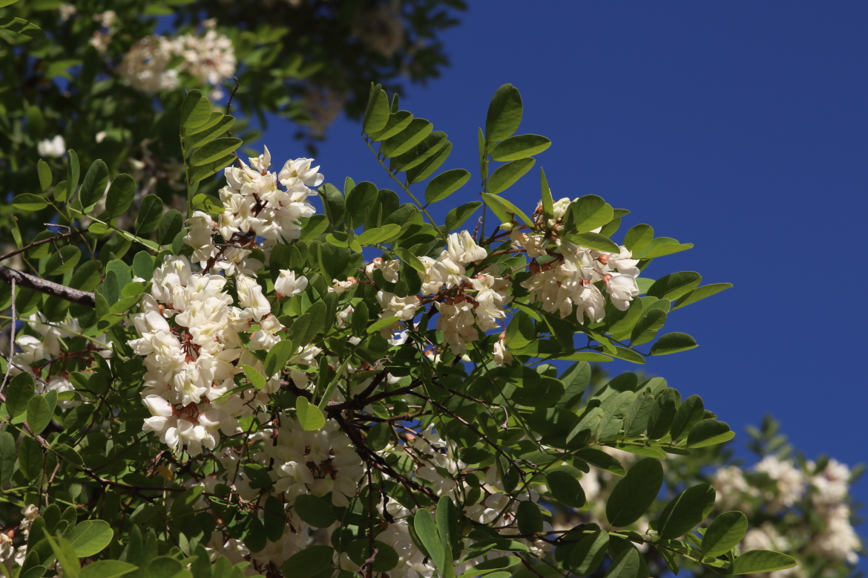Robinia pseudoacacia_REDel_oso_Avila-0007