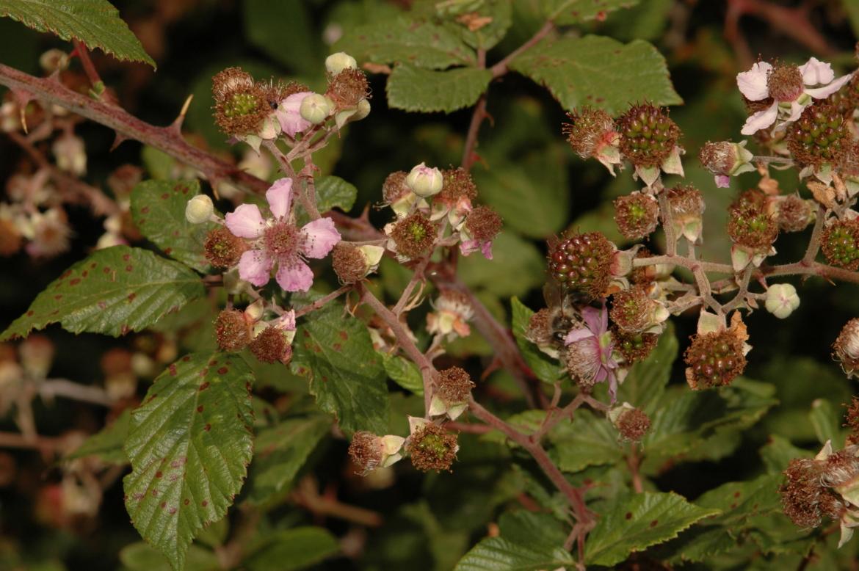 Rubus ulmifolius-REDAvila-Sierra de Gredos-Navalonguilla-julio-2011 (4)