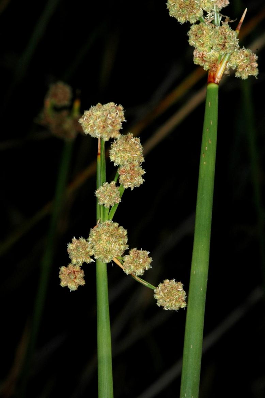 Scirpoides holoschoenusRED