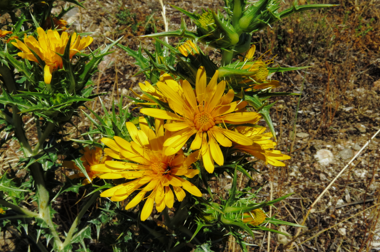 Scolymus hispanicusREDRICO mingorria_15-06-17_9