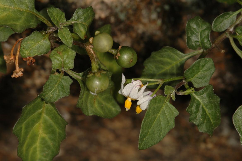Solanum nigrumRED
