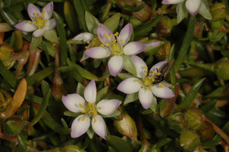 Spergularia marinaRED-Gran Bretaña-Escocia-Dunbar-junio-2007-3