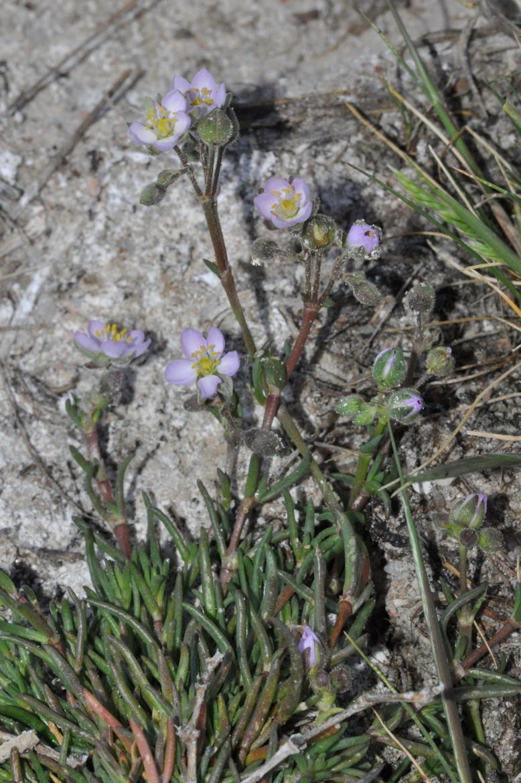 Spergularia mediaRED-AV-El Oso-11-mayo-2019 (1)