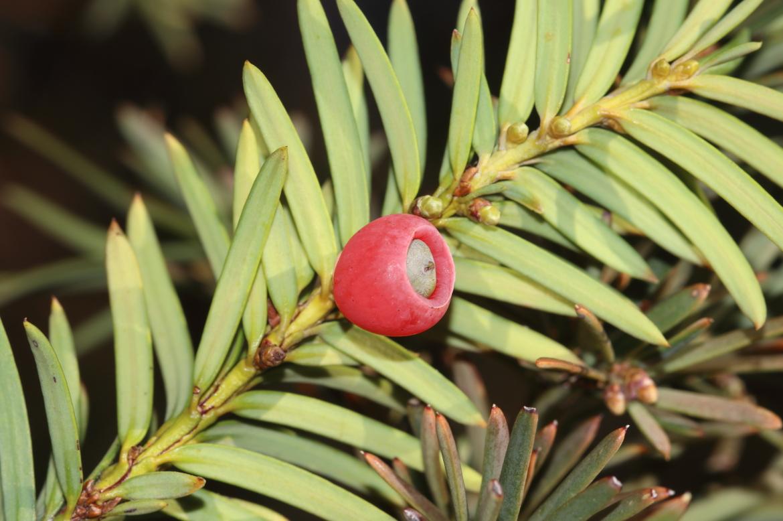 Taxus_baccata_redricoVillafranca_de_la_Sierra_Avila-0017
