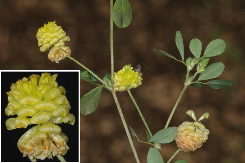 Trifolium campestreRED-Sevilla-UPO-abril-2005 (2)