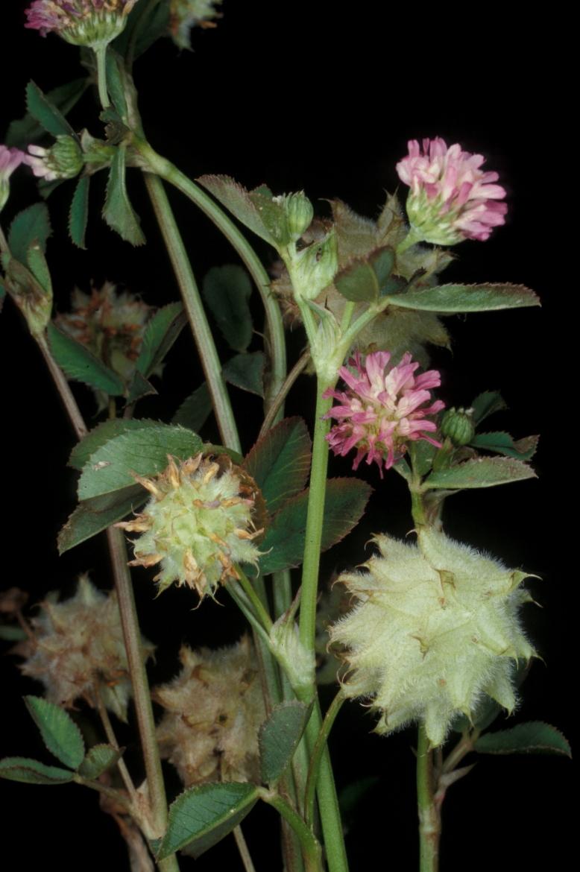 Trifolium_resupinatumRED